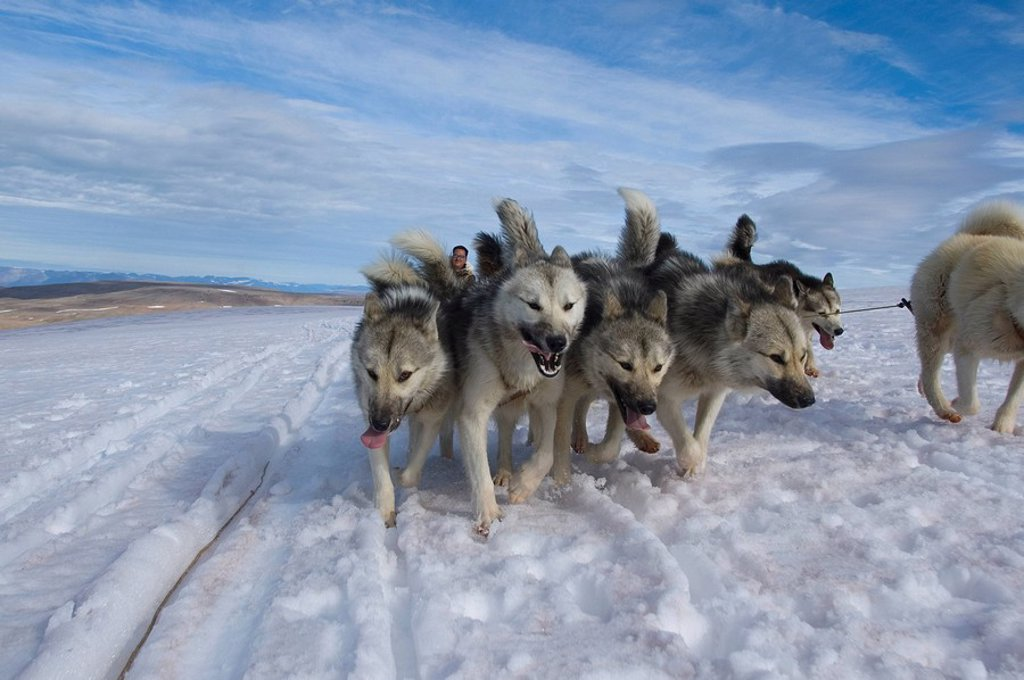 Greenland dogs, Greenland : Stock Photo