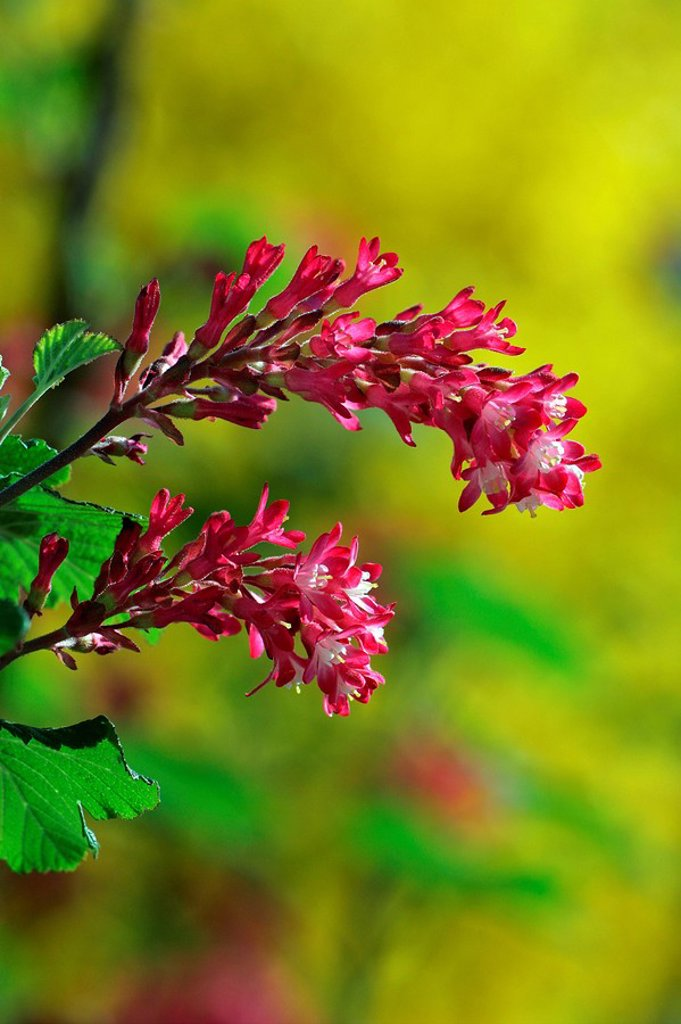 Stock Photo: 1848R-283433 Flowering currant Ribes sanguineum