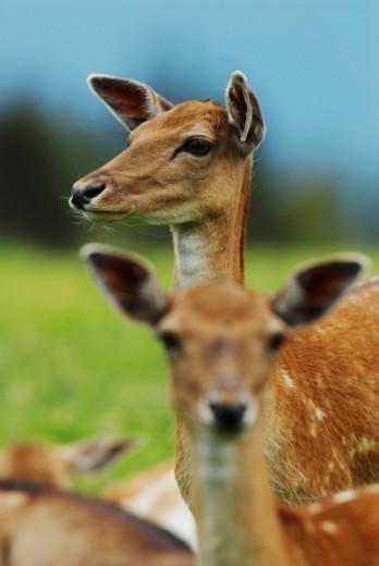 Stock Photo: 1848R-284554 Fallow Deer Dama dama