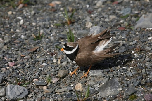 Ringed Plover Charadrius hiaticula, pretends to have injured wings, North Norway, Norway : Stock Photo