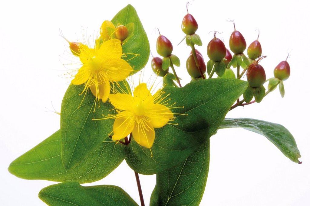 Stock Photo: 1848R-284887 St  John´s Wort Hypericum perforatum flowers, berries and leaves