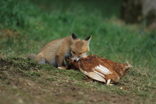 Red Fox Vulpes vulpes, young feeding on chicken : Stock Photo