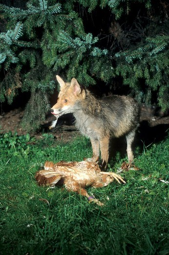 Fox Vuples vulpes with a chicken, night shot : Stock Photo