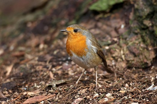 European Robin Erithacus rubecula : Stock Photo