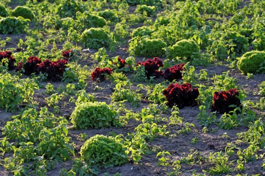 Field with red and green salad : Stock Photo