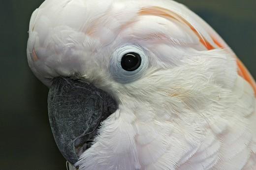 Stock Photo: 1848R-285396 Lesser Sulphur-crested Cockatoo Cacatua sulphurea
