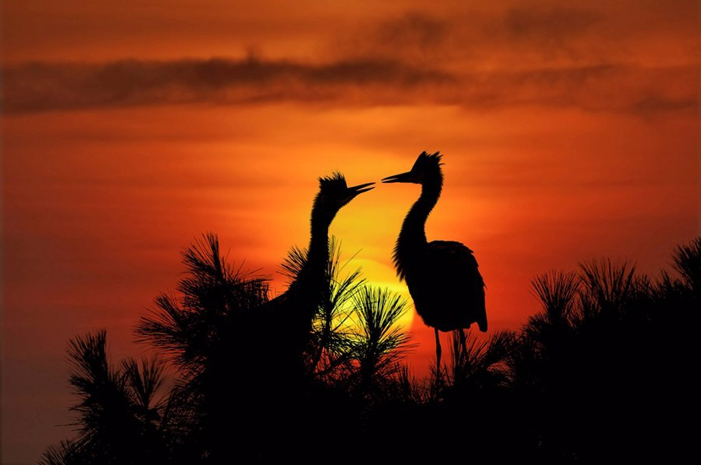 Grey Herons in front of a setting sun, Ardea Cinerea : Stock Photo