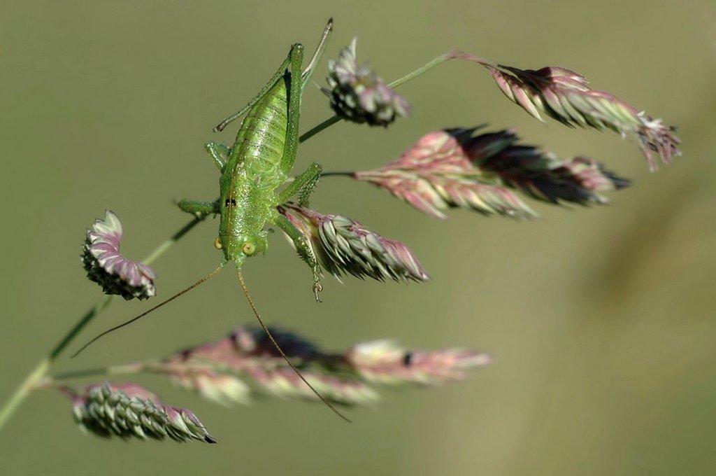 Grasshopper on stalk : Stock Photo