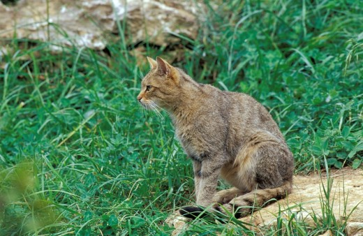 European wild cat : Stock Photo