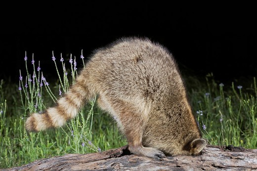 Stock Photo: 1848R-287261 Northern Raccoon Procyon lotor, adult at night looking for food in hollow log, Sinton, Corpus Christi, Texas, USA