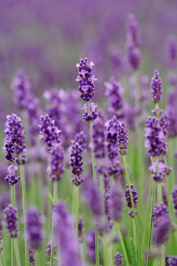 Lavender lavandula angustifolia : Stock Photo