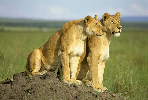 Stock Photo: 1848R-287711 Two lionesses looking out for hunting on a little hill Masai Mara National Reserve Kenya
