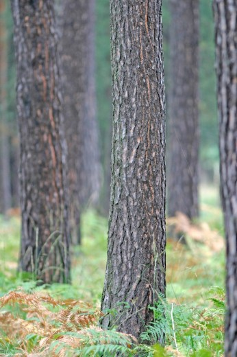 Pine trunks in the forest with fern plants on the ground : Stock Photo