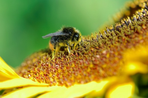 Red-tailed or Stone Bumble Bee Bombus lapidarius perched on a sunflower : Stock Photo