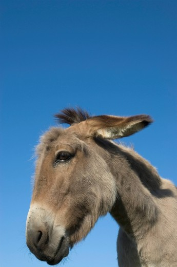 Stock Photo: 1848R-289021 Portrait of a donkey mare