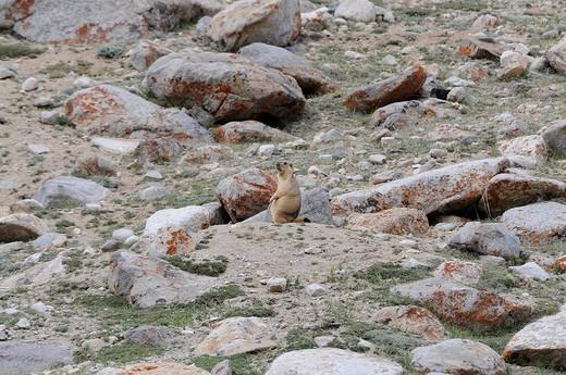 Stock Photo: 1848R-289342 Himalayan Marmot Marmota himalayana on 4000m, below the Kardung Pass, Nubra Valley, Ladakh, Himalayas, India, Asia