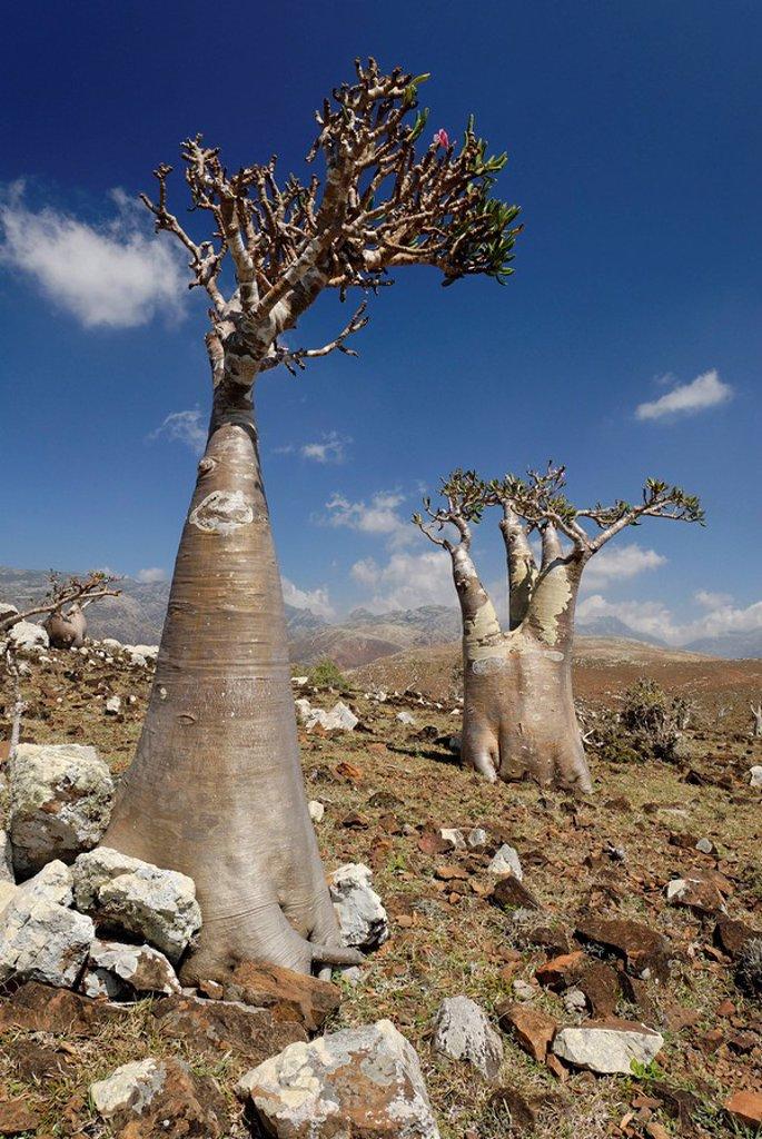 Stock Photo: 1848R-289580 Socotra Desert Rose or Bottle Tree, adenium obesum sokotranum, Socotra island, UNESCO World Heritage Site, Yemen