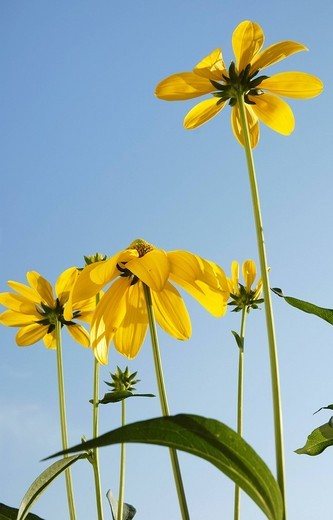 Flowers of rudbeckia nitida, Asteraceae : Stock Photo