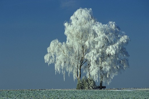 Hoarfrost on birch trees : Stock Photo