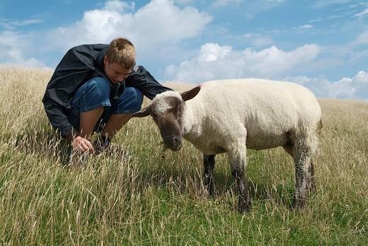 Sheeps on the north sea island nortstrand : Stock Photo