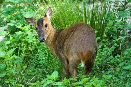 Stock Photo: 1848R-291184 Reeve´s Muntjac Muntiacus reevesi, Salzburg Zoo, Austria, Europe