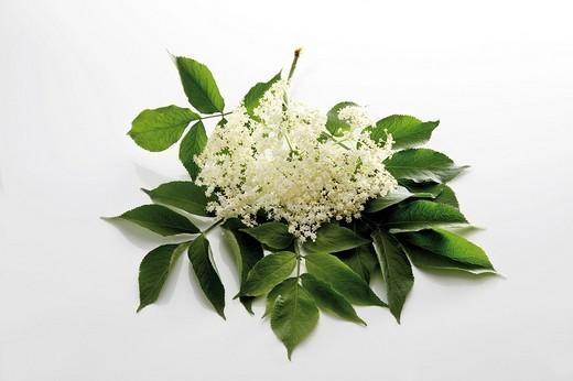 Elder or Elderberry blossom Sambucus nigra : Stock Photo