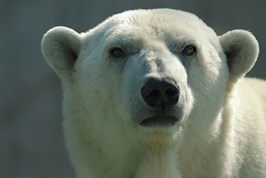 Polar bear Ursus maritimus portrait : Stock Photo