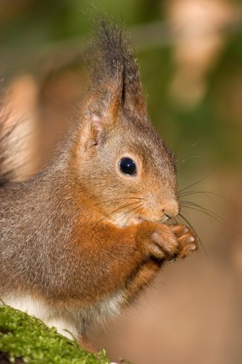 Portrait of a red squirrel eating : Stock Photo