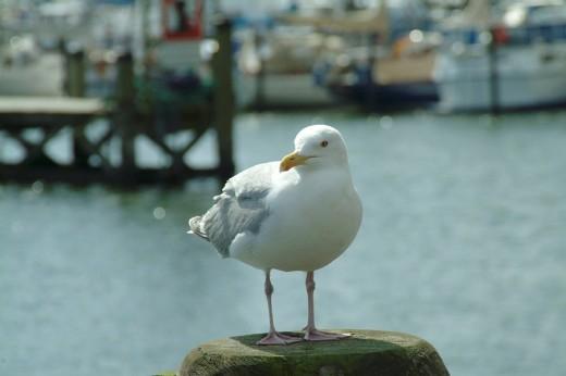 Herring Gull Larus argentatus sits at the port : Stock Photo