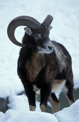 Stock Photo: 1848R-292798 European mouflon