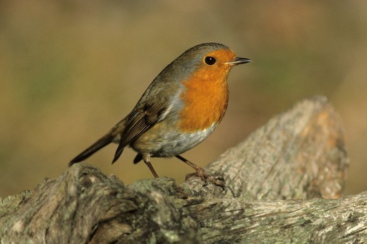 Robin Erithacus rubecula : Stock Photo