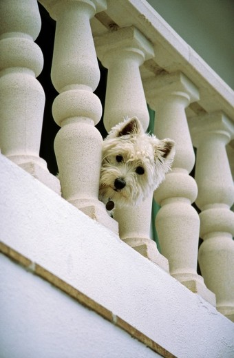 Stock Photo: 1848R-292964 Little white dog peering through a handrail, West Highland White Terrier
