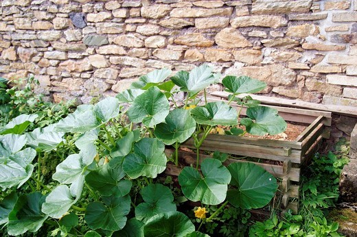 Pumpkin plant is growing near the compost heap in front of a old stone wall : Stock Photo