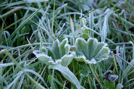 Lady´s mantle alchemilla in meadow with glaced frost : Stock Photo