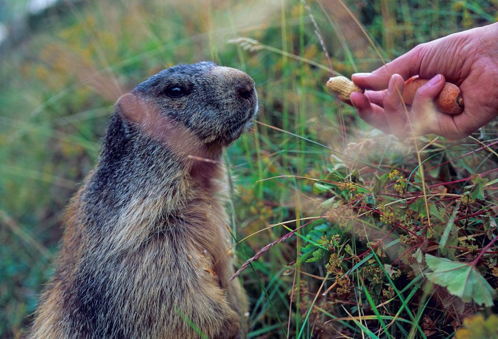 Woman feeding an Alpine marmot Marmota marmota with peanuts near Saas Fee Switzerland : Stock Photo