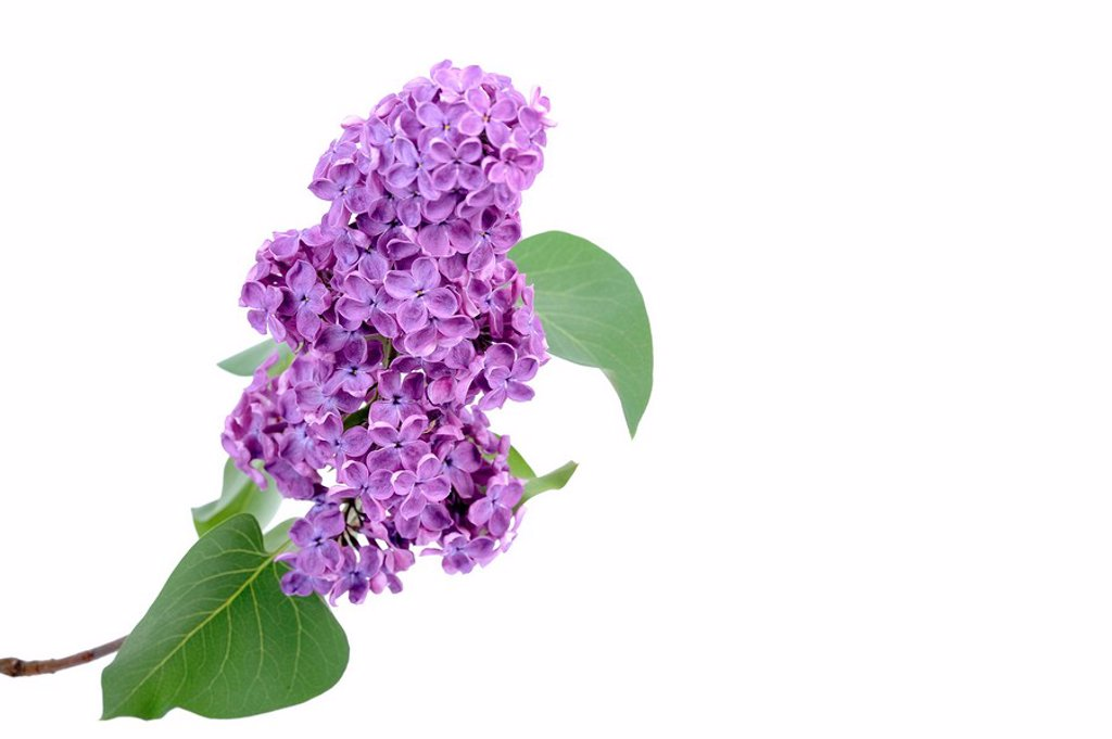 Stock Photo: 1848R-293577 Purple Lilac Syringa