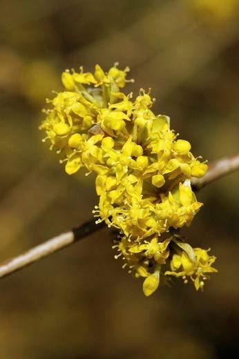 Cornelian Cherry Cornus mas blossoms : Stock Photo