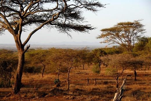 Acacia in the savanna Amboseli National Park Kenya : Stock Photo