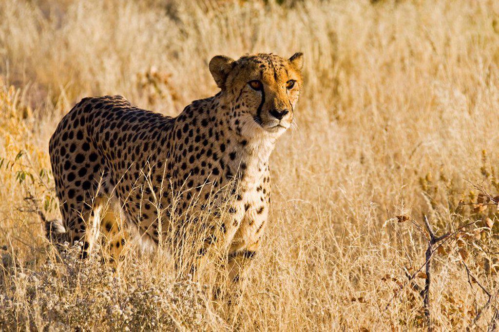 Stock Photo: 1848R-294286 Cheetah Acinonyx jubatus walking through the grass, Namibia, Africa