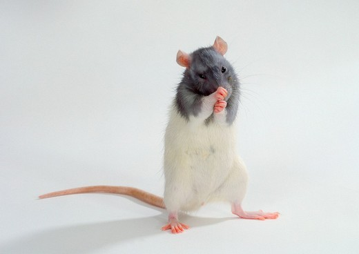 Domestic Rat, blue-hooded : Stock Photo