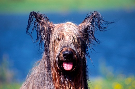 Stock Photo: 1848R-295431 Wet dog, Seefeld, Tyrol, Austria, Europe