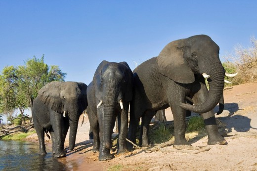 Stock Photo: 1848R-295466 African Bush Elephants Loxodonta africana after crossing the river, Chobe River, Chobe National Park, Botswana, Africa