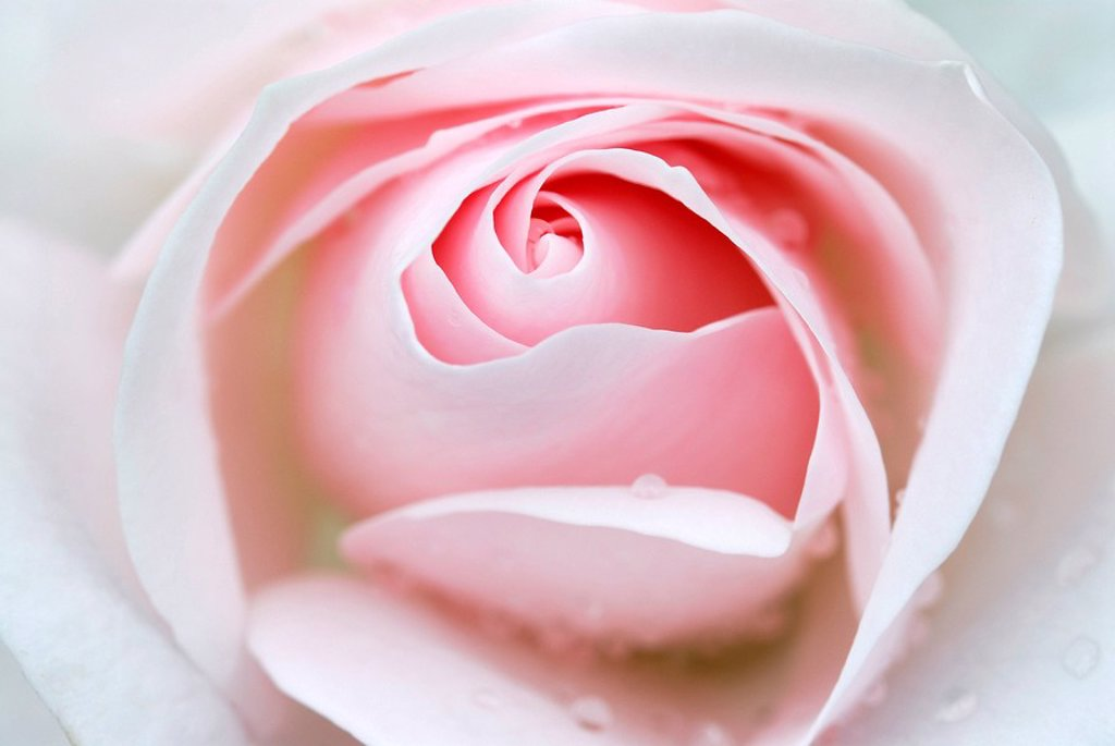 Rose bloom Rosa, Regional Garden Show, Ulm, Baden-Wuerttemberg, Germany, Europe : Stock Photo