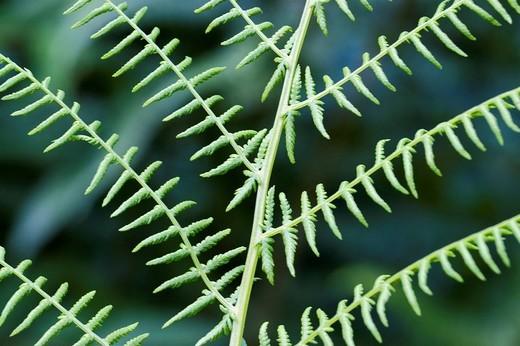 Fern Pteridium aquilinum : Stock Photo