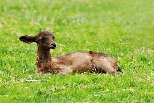 Stock Photo: 1848R-296105 Roe deer Capreolus capreolus, fawn