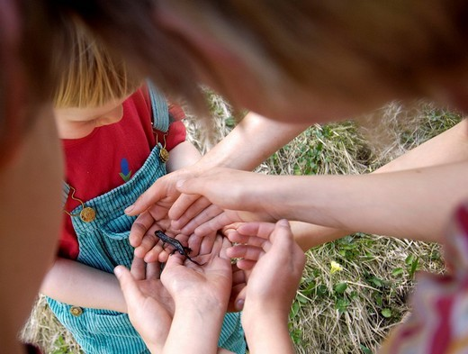 Stock Photo: 1848R-297120 Hands of children holding newt Triturus alpestris