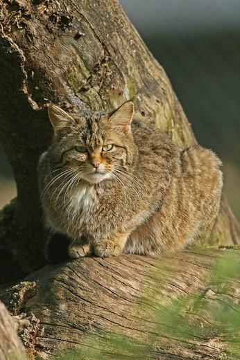 Wild cat : Stock Photo