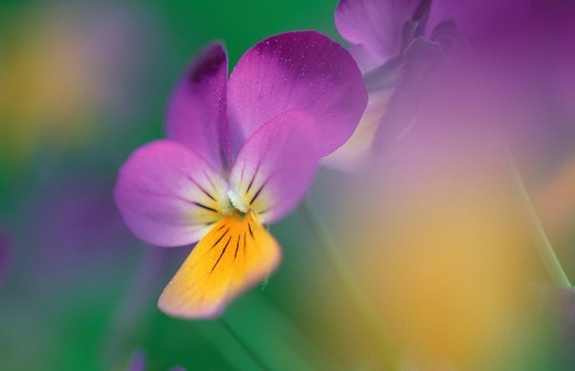 Stock Photo: 1848R-297834 Pansy flower