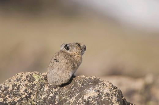 American Pika Ochotona princeps, adult on rock, Rocky Mountain National Park, Colorado, USA : Stock Photo