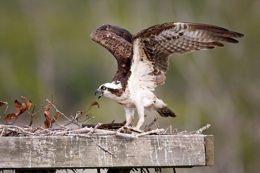 Osprey Pandion haliaetus in an artificial nest, Sanibel Island, Florida, USA : Stock Photo